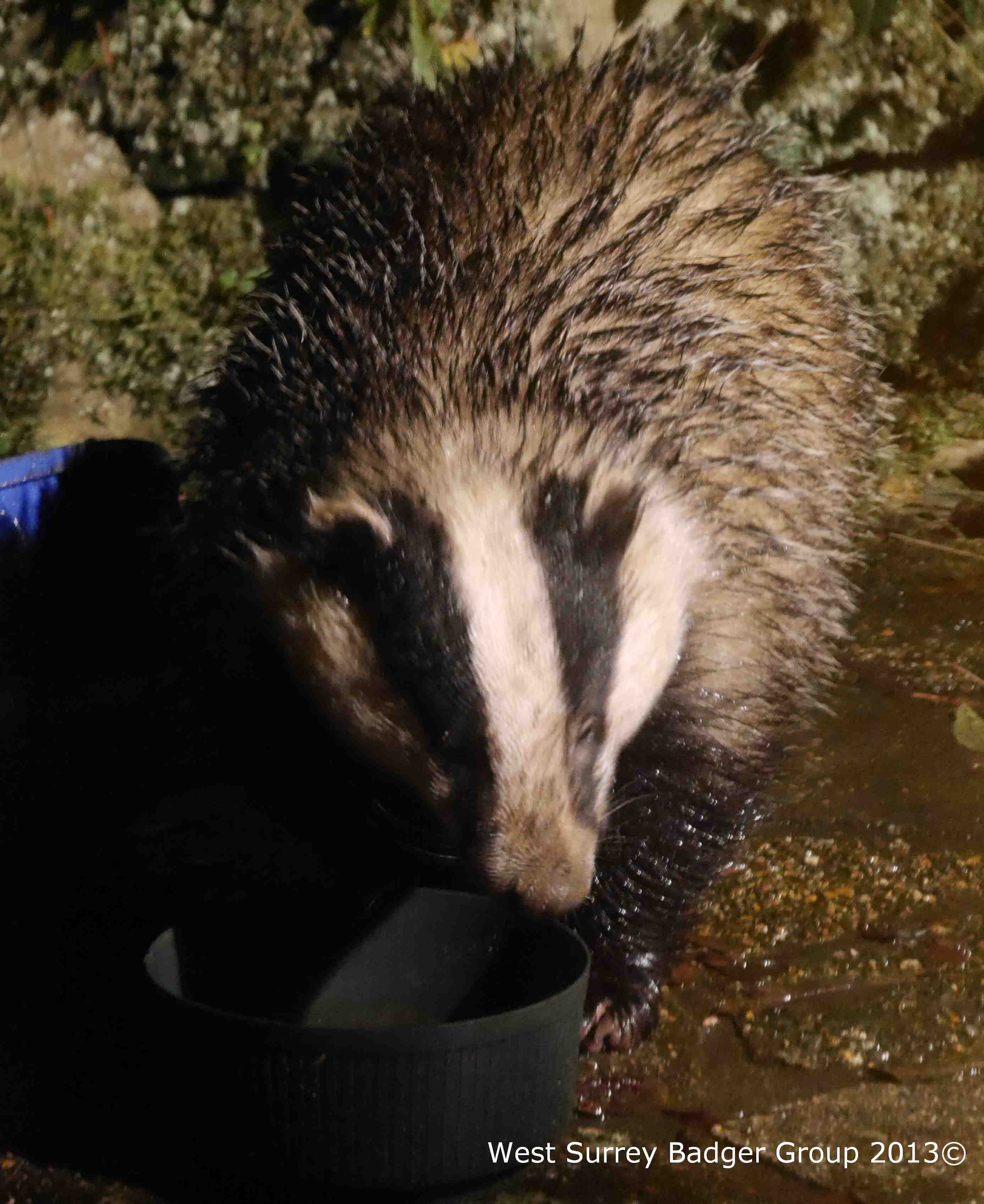 Soggy Badger